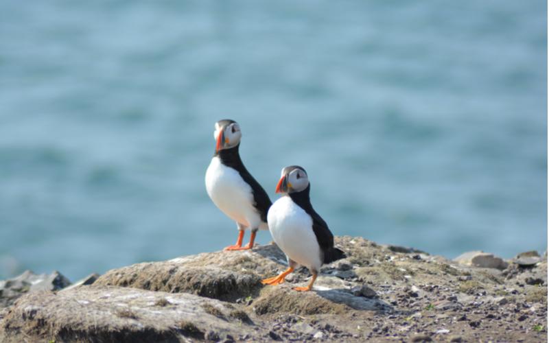 Two puffins on Farne Island's rocky coast